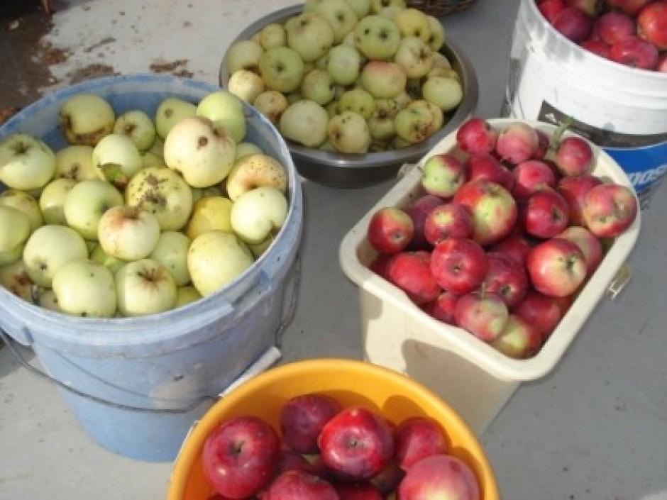 Darbiņš gan lielam gan mazam ģimenes loceklim - salasa ābolu...