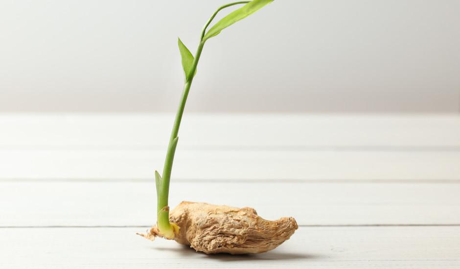 Ingvera sakne sākusi zaļot? Kā to pareizi iestādīt un audzēt?